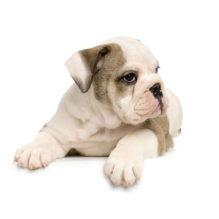 english Bulldog puppy lying down in front of white background Stock Photo - 784158