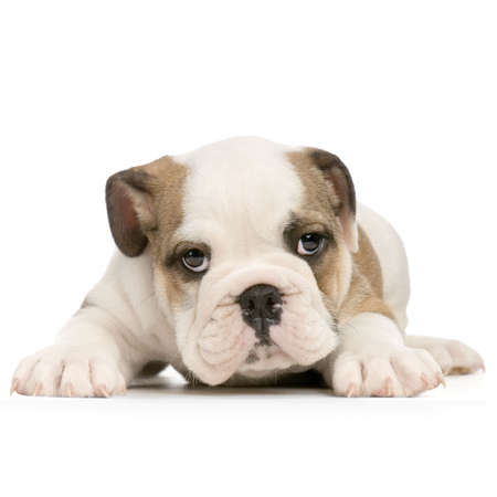 english Bulldog puppy lying down in front of white background and looking at the camera Stock Photo - 832689