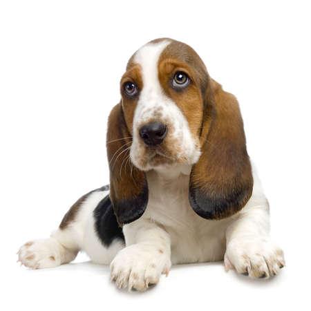 Basset Hound Puppy di fronte a sfondo bianco