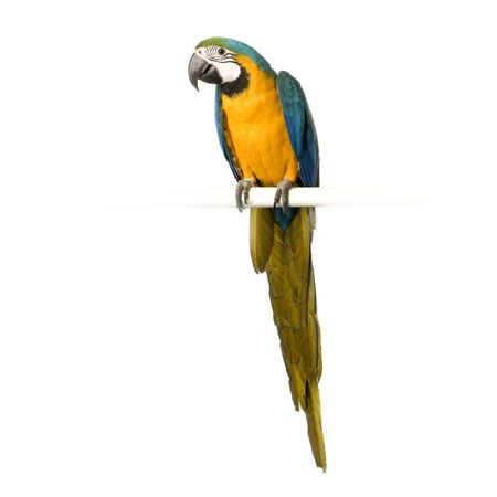 Blue-and-yellow Macaw in front of a white background Stock Photo - 854710