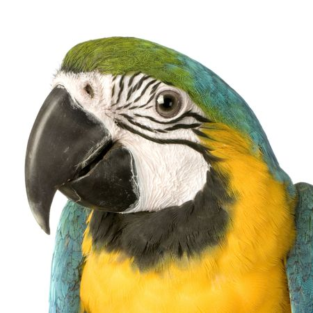 Blue-and-yellow Macaw in front of a white background Stock Photo - 854707