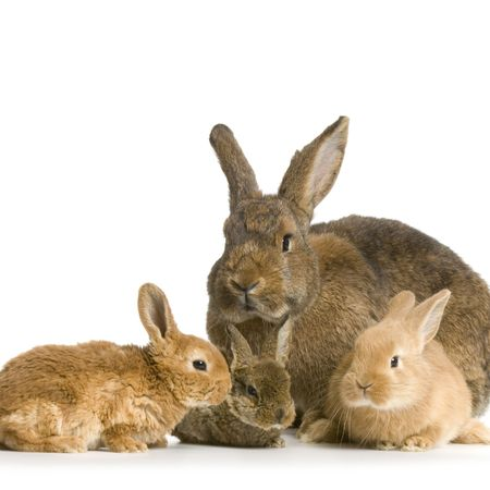 Mother Rabbit with her new born bunny in front of a white background Stock Photo