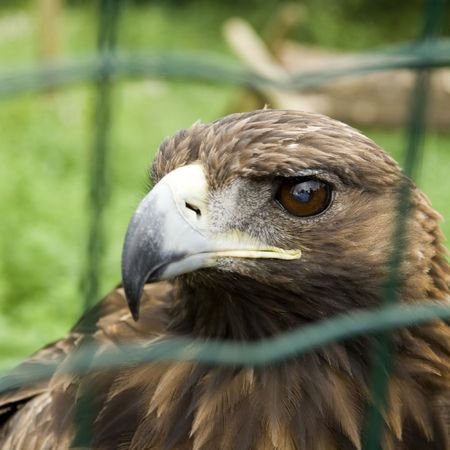 Close-up of a captive Eagle photo