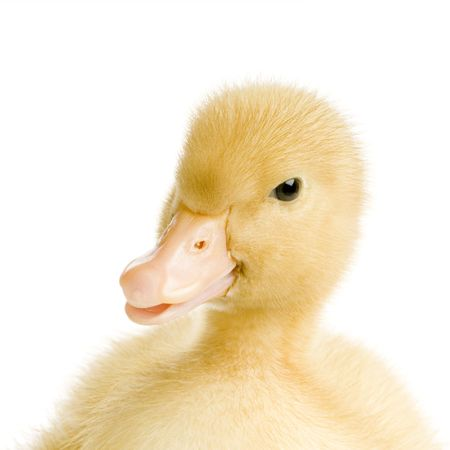 Duckling in front of a white background Stock Photo - 902165