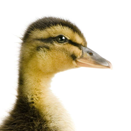Duckling in front of a white background photo