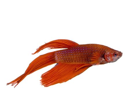 shot of a red Siamese fighting fish under water in front of a white background Stock Photo - 1124832