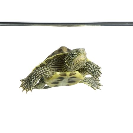 amphibia: Turtle swimming in front of a white background