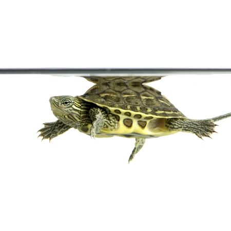 Turtle swimming in front of a white background Stock Photo - 1132234
