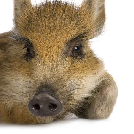 young wild boar in front of a white background photo