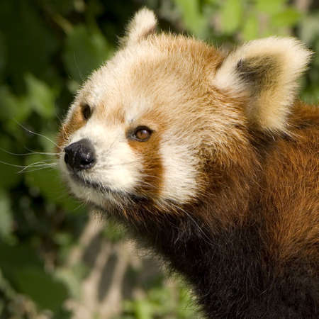 Red Panda in the wild photo