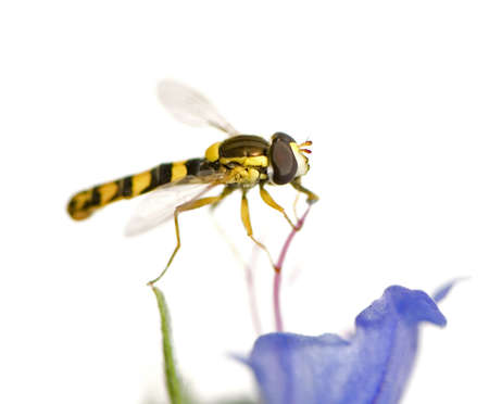 Hoverflies Gathering nectar in front of a white background photo