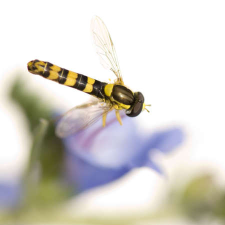 nectaring: Hoverflies Gathering nectar in front of a white background Stock Photo
