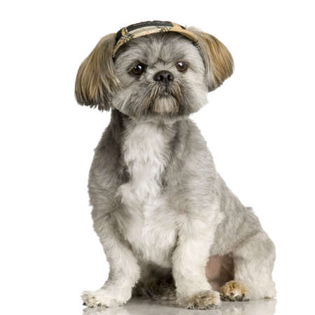 shih tzu: Shih Tzu in front of white background and facing the camera
