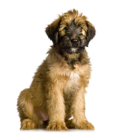 berger: Briard sitting in front of white background