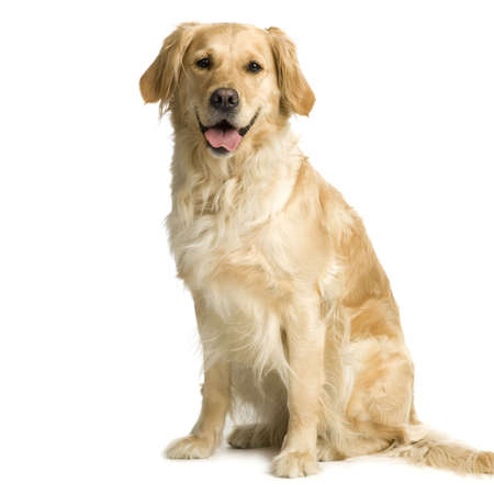 lap dog: Labrador retriever cream in front of white background and facing the camera Stock Photo