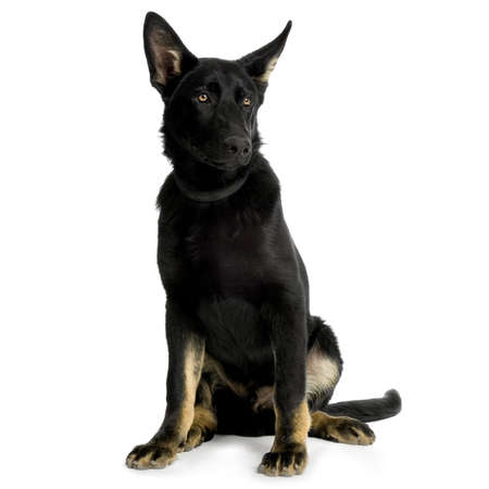 juvenile german shepherd in front of white background Stock Photo - 1158717