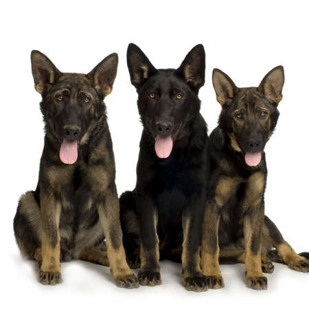 wolfpack of four juvenile german shepherd in front of white background