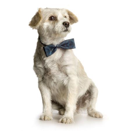 perros vestidos: viejo sucio perro delante de fondo blanco con pajarita