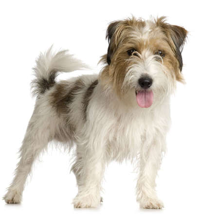 alertness: Jack russel long haired in front of a white background