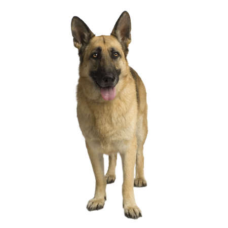 german shepherd standing up in front of white background Stock Photo - 1158749