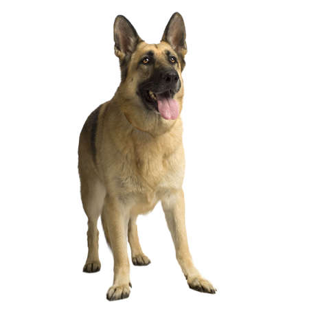 german shepherd standing up in front of white background Stock Photo - 1158750