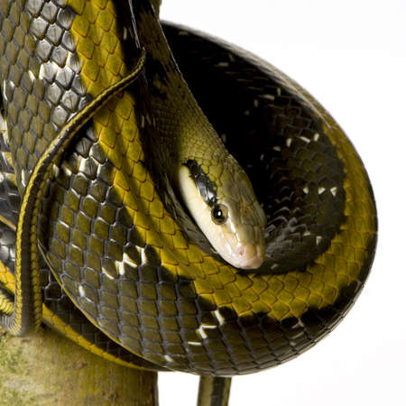 taeniura: Rat snake in front of a white background