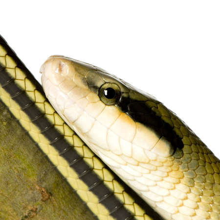 Rat snake in front of a white background photo
