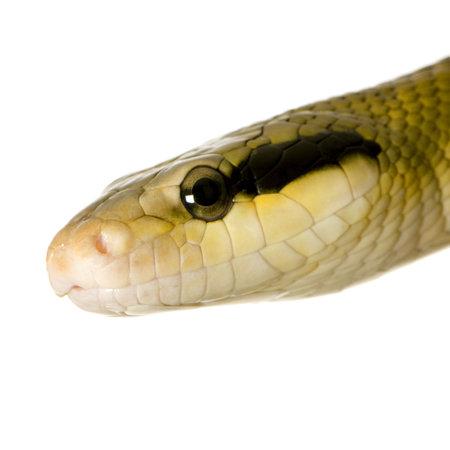 taeniura: Rat serpente di fronte a uno sfondo bianco