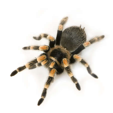 predatory insect: Brachypelma smithi in front of a white backgroung Stock Photo