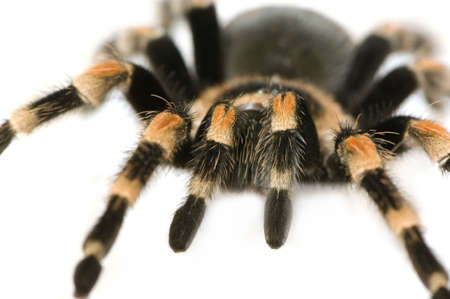 Brachypelma smithi in front of a white backgroung photo