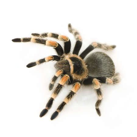 venom: Brachypelma smithi in front of a white backgroung Stock Photo