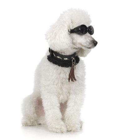 perros vestidos: Caniche llevaba collar y gafas de sol delante de un fondo blanco