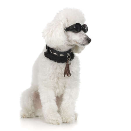 Poodle wearing collar and sunglasses in front of a white background Stock Photo - 1283167