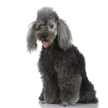 scurvy: very old dog in front of white background