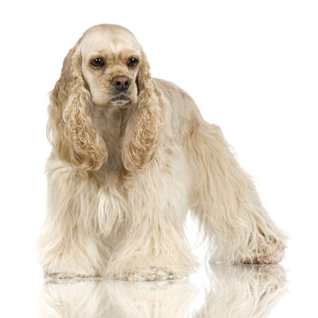 Cocker Spaniel Breed in front of a white background