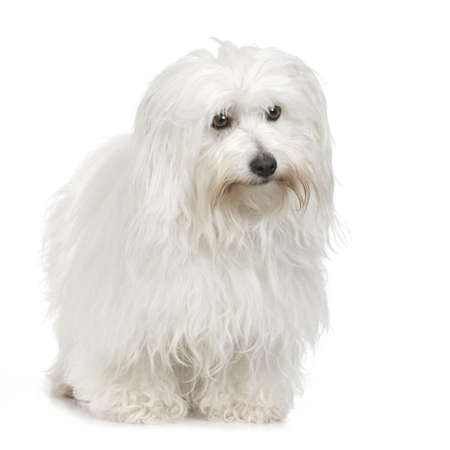 detect: Coton de Tulear in front of white background  Stock Photo