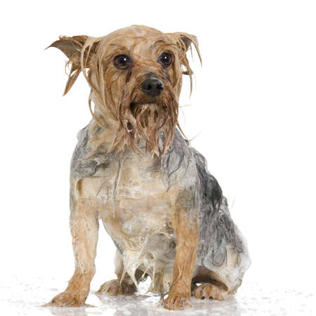 Yorkshire Terrier during a grooming seance in front of a white background