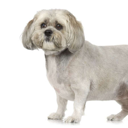 Lhasa Apso in front of white a background photo