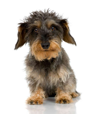 lapdog: Coarse haired Dachshund in front of a white background