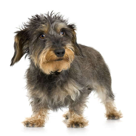 coarse: Coarse haired Dachshund in front of a white background