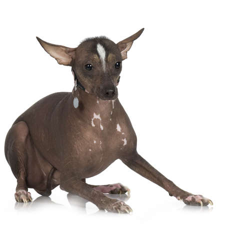 lapdog: Peruvian Hairless dog in front of a white background