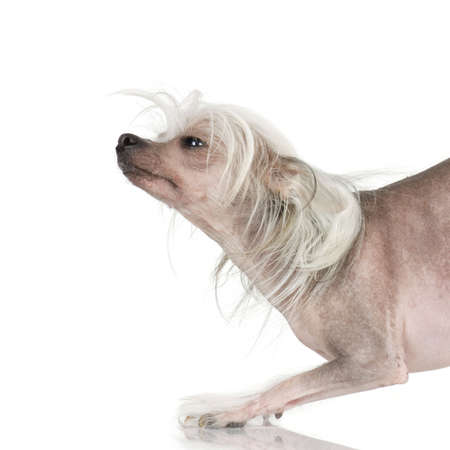 chinese crested dog Hairless dog in front of a white background Stock Photo