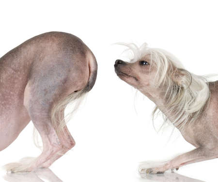 sniffing: chinese crested dog Hairless dog in front of a white background Stock Photo