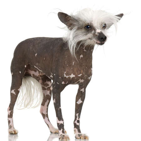 lapdog: chinese crested dog Hairless dog in front of a white background Stock Photo