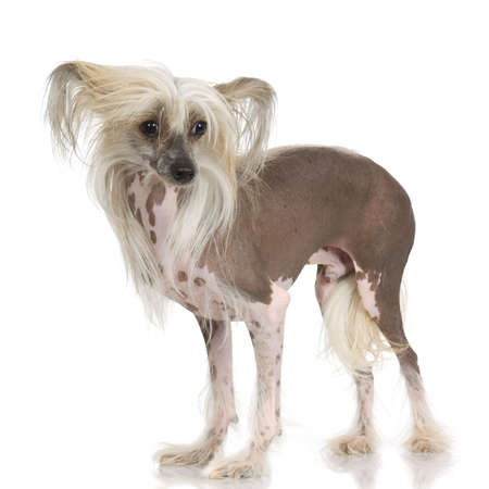 crested: chinese crested dog Hairless dog in front of a white background Stock Photo