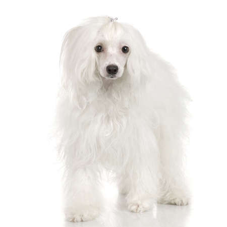 stylishness: chinese crested dog in front of a white background
