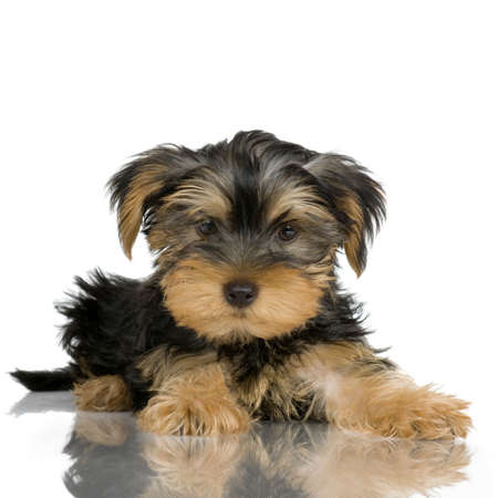 yorkshire terrier: pupyy Yorkshire Terrier in front of a white background