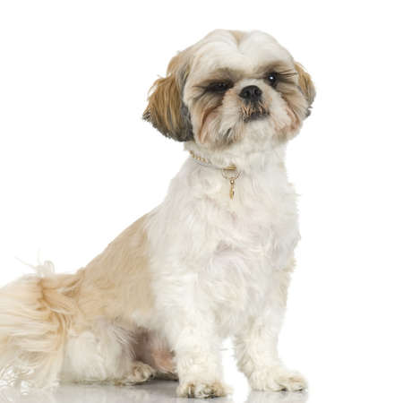 unkempt: adult,Shih Tzu in front of white background and facing the camera