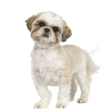 shih tzu: adult,Shih Tzu in front of white background and facing the camera