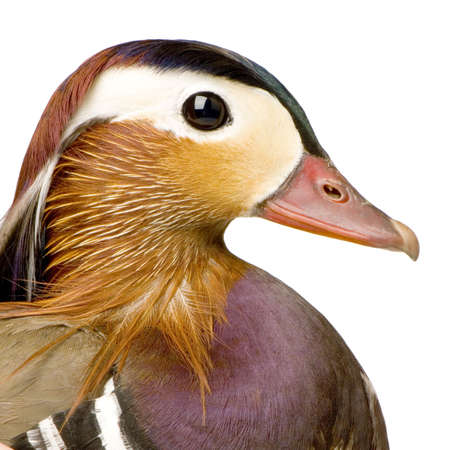 Mandarin duck in front of a white background Stock Photo